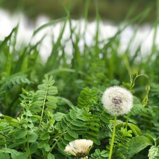 grass, dandelion, lake in background
