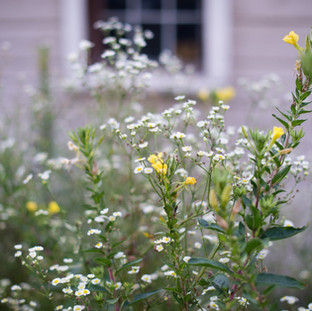 close up photo of yellow and white wildflowers with a distressed white barn in the background