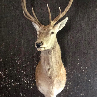 taxidermy blonde elk mounted on wall with brown and gold sparkly wallpaper