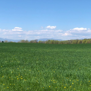 feild of dandelions and an almost cloudless blue sky