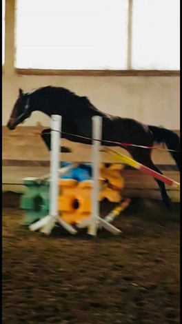 3 year old mare in Germany o/o a TK mare