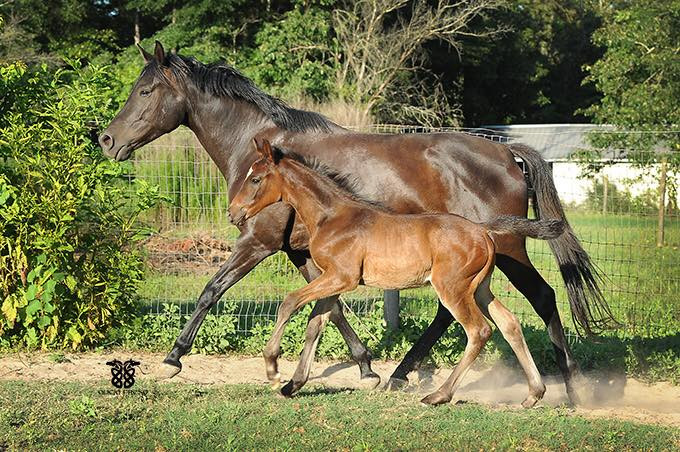 weanling colt and his dam by Veneziano