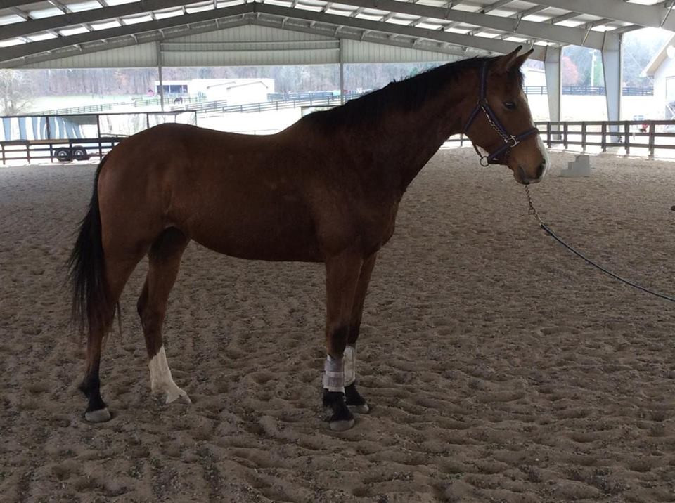 3 year old gelding o/o an Anglo TK mare