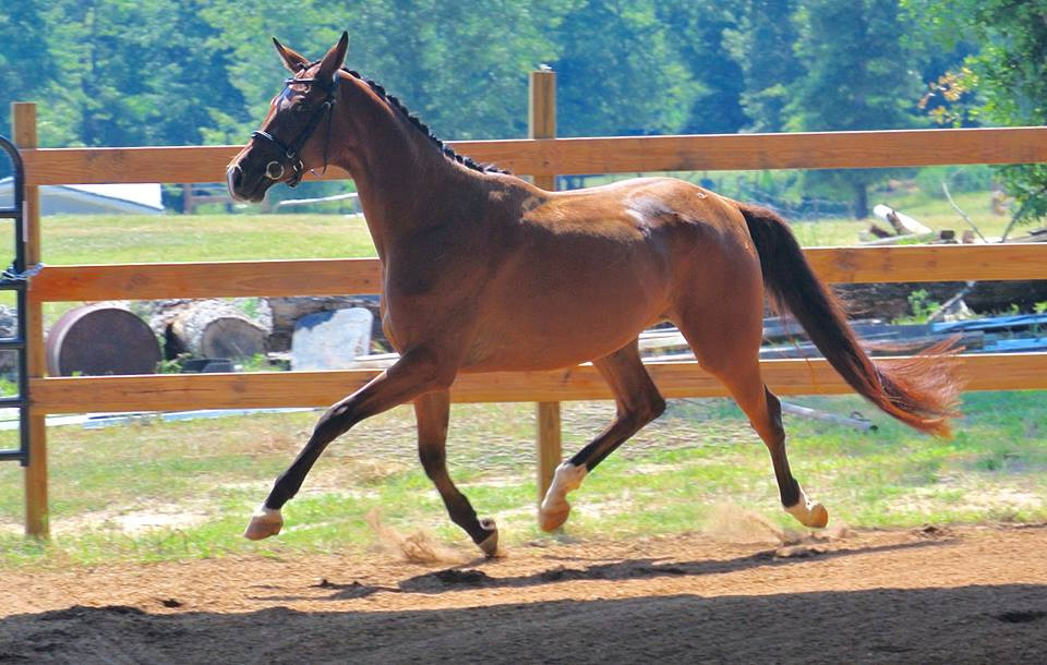 3 year old mare o/o a Sir Shoshotokivich xx/Tolstoi mare