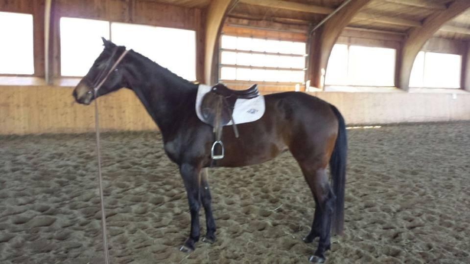 5 year old mare in CAN o/o a Zauberklang *E* mare