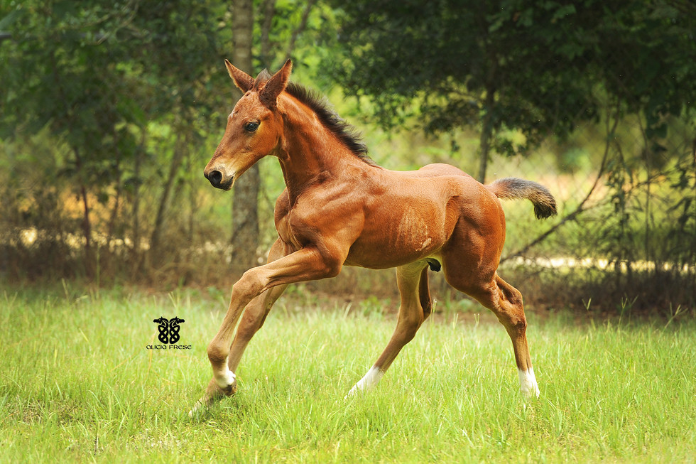 Emerald Phoneix (out of Anglo TK mare)