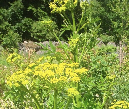 Hunting the Wild Parsnip