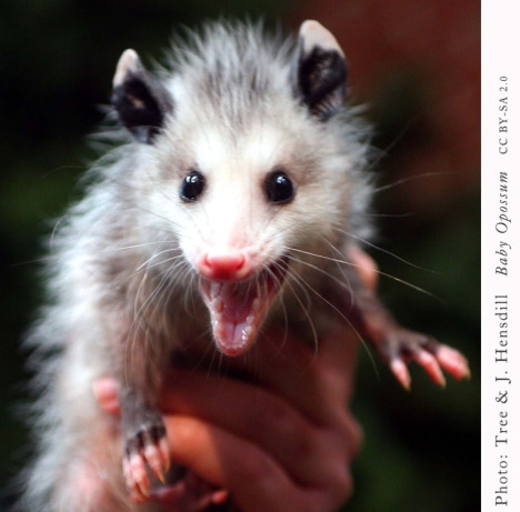 Possums are your best defense against Lyme disease