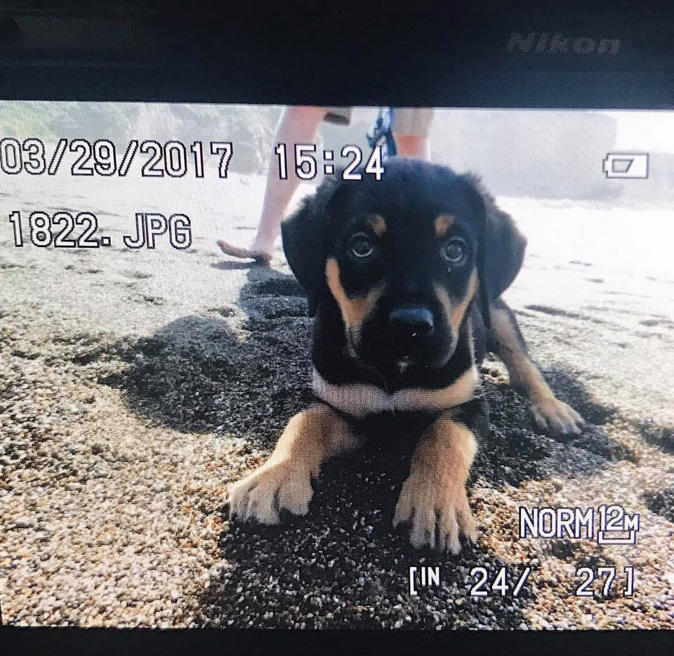 rottweiler mix golden retriever puppy