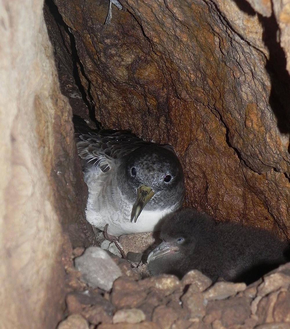 berta maggiore al nido, con pullo. Foto F. Corbi