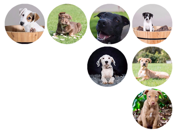 dogs, puppies, rescues, labrador, crossbreed