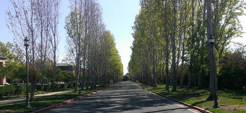 Mature poplars on tech campus
