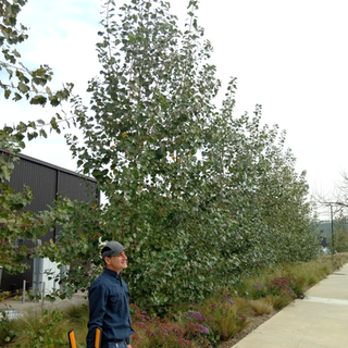Hybrid poplars 2 years after planting