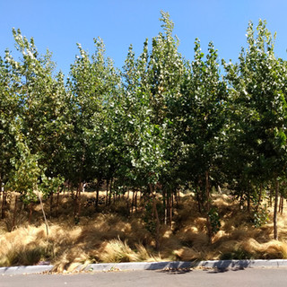4 year old hybrid poplar trees intercropped with Mexican feathergrass