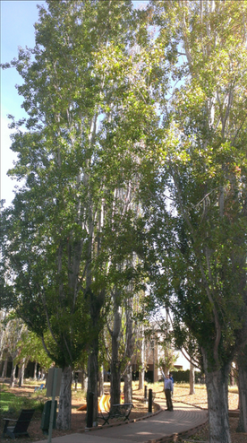 Mature poplars