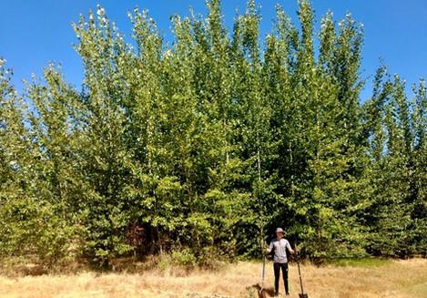Mature poplars at NASA MEW Superfund site