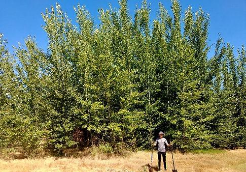 Microbe enhanced phytoremediation using hybrid poplar trees. NASA Moffet field site. Environmental contamination remedation.