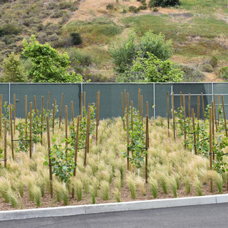 Inoculated hybrid poplars 1 year after planting