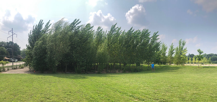 Phytoremediation site using hybrid poplars in Danville, Illinois. The site was contaminated with TCE in the groundwater in soil. Intrinsyx Environmental was contracted to plant 800 endophyte inoculated hybrid poplar and willow trees to remediate the contaminated site. The site has been a success and the hybrid poplar trees are now around 30 feet tall. They will sequester aroun 160,000 pounds of carbon per year.