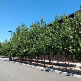 Hybrid poplars 3 years after planting