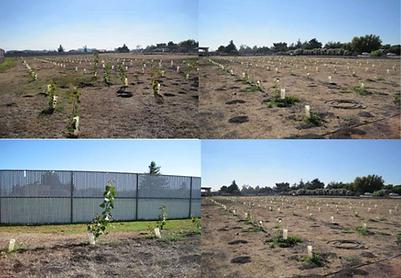 Endophytic phytoremediation hybrid poplar trees NASA