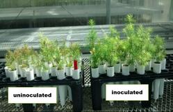 uninoculated vs inoculated saplings