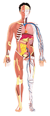 anatomy2 small.png