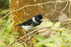 Variable Seedeater (m) (Pacific Race).jp
