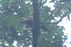 Golden-olive Woodpecker.jpg