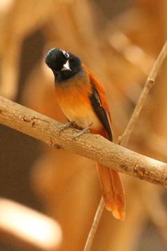 Red bellies African Flycatcher Hybrid (f