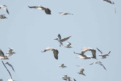 Caspian tern 1st w.jpg