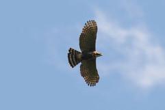 Ornate Hawk Eagle (imm m) .jpg