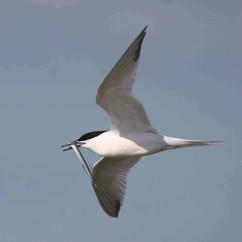 Sandwich Tern.jpg