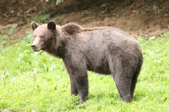Brown Bear (Carpathian) (f) (1).jpg