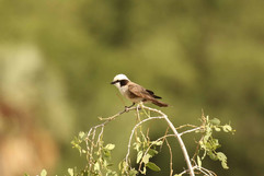 Northern White-crowmed Shrike.jpg