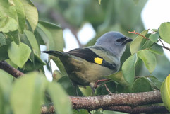 Yellow winged Tanager .jpg