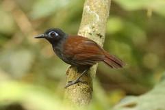 Chestnut-backed Antbird.jpg