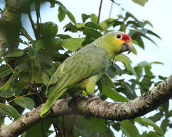 Red lored Parrot .jpg