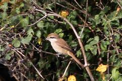 Brown Shrike (uk).jpg