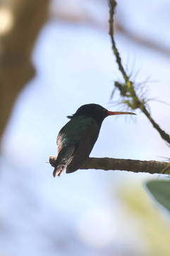 Red Billed Streamertail (Imm or M Moult)
