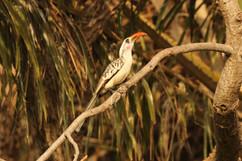 Western red-billed hornbill.jpg