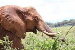 African Elephant (2).jpg