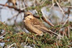 Donaldson-Smith's Sparrow Weaver.jpg
