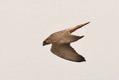 Lanner Falcon.jpg