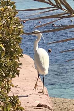 Western Reef Heron.jpg