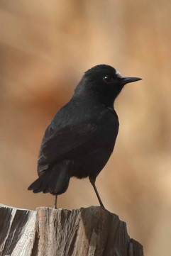 White fronted black chat.jpg