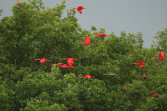 Scarlet Ibis inc imm.jpg