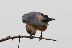 Red-Rumped Swallow.jpg