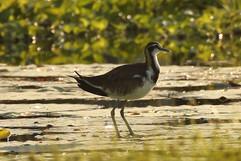 Pheasant-tailed Jacana (imm).jpg