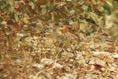 Double spurred Francolin - record shot.j